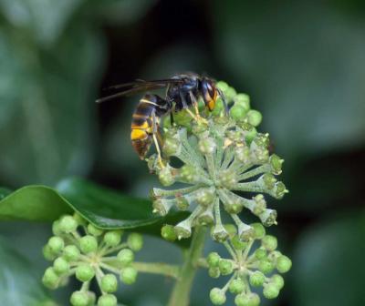 Frelon asiatique - Espèce invasive
